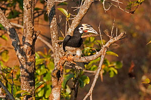 Oriental Pied Hornbill (Anthracoceros albirostris) south west China, February.  -  XI ZHINONG