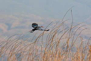 Purple swamphen (Porphyrio porphyrio) in flight, China, March.  -  XI ZHINONG
