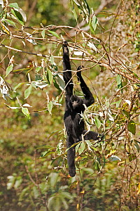 West Yunnan black-crested gibbon (Nomascus concolor furvogaster) climbing, Yunnan, China, February. - XI ZHINONG