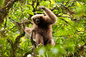 Eastern hoolock gibbon (Hoolock leuconedys) in tree, Yunnan, China, May.  -  XI ZHINONG