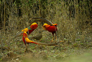 Three male Golden Pheasants (Chrysolophus pictus) displaying to female, Foping, Shaanxi, China, April. - XI ZHINONG