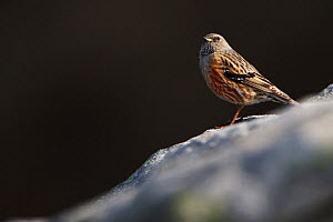 Alpine Accentor (Prunella collaris) Bernese Alps, Switzerland, April.  -  Radomir  Jakubowski
