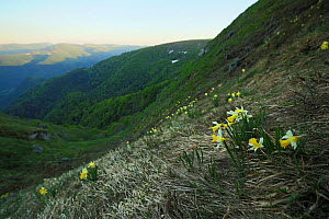 Wild daffodil (Narcissus pseudonarcissus) in the habitat, Vosges Mountains, France, May 2012.  -  Radomir  Jakubowski