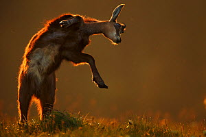 Chamois (Rupicapra rupicapra) jumping, Vosges Mountains, France. Nominated in the Melvita Nature Images Awards competition 2014. - Radomir  Jakubowski