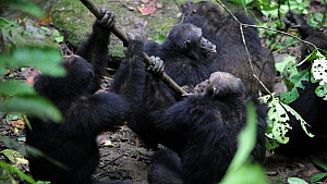 Showreel of Male Chimpanzees (Pan troglodytes) attacking the alpha male of their troop, Mahale Mountains National Park, Tanzania. - Konrad  Wothe