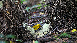 Golden bowerbird (Prionodura newtoniana) showreel, with bower construction and vocalisation, Atherton Tablelands, Queensland, Australia  -  Konrad  Wothe
