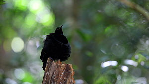 Male Victoria's riflebird (Ptiloris victoriae) preening and thermoregulating, Atherton Tablelands, Queensland, Australia - Konrad  Wothe