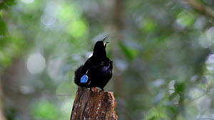 Male Victoria's riflebird (Ptiloris victoriae) thermoregulating and vocalising, Atherton Tablelands, Queensland, Australia. - Konrad  Wothe