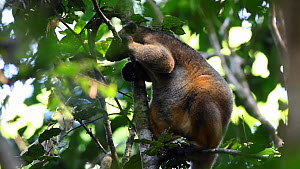 Lumholtz's tree kangaroo (Dendrolagus lumholtzi) standing up in a tree, North Queensland, Australia.  -  Konrad  Wothe