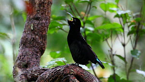 Male Victoria's riflebird (Ptiloris victoriae) vocalising and displaying, Atherton Tablelands, Queensland, Australia. - Konrad  Wothe