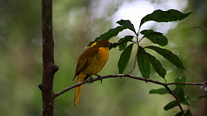 Male Golden bowerbird (Prionodura newtoniana) looking around and wiping its beak on a twig, Atherton Tablelands, Queensland, Australia.  -  Konrad  Wothe
