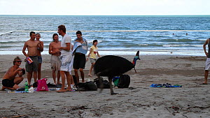 Female Southern cassowary (Casuarius casuarius) on a beach, with tourists, Moresby Range, Queensland, Australia, 2010.  -  Konrad  Wothe