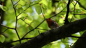 European robin (Erithacus rubecula) singing in spring, Bavaria, Germany, April. - Konrad  Wothe