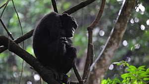 Chimpanzee (Pan troglodytes) sitting in the rain, Mahale Mountains National Park, Tanzania. - Konrad  Wothe