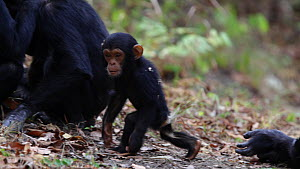 Chimpanzees (Pan troglodytes) mutual grooming, with a baby wandering around, Mahale Mountains National Park, Tanzania, East Africa.  -  Konrad  Wothe