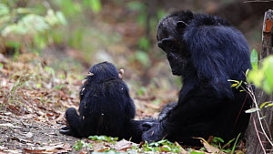Chimpanzee (Pan troglodytes) sitting with a baby and grooming itself, panning to a pair mutual grooming, Mahale Mountains National Park, Tanzania, East Africa. - Konrad  Wothe