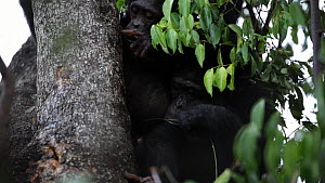 Chimpanzees (Pan troglodytes) in a tree using pieces of grass to pull ants from a hole to eat, Mahale Mountains National Park, Tanzania.  -  Konrad  Wothe