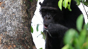 Chimpanzee (Pan troglodytes) in a tree using pieces of grass to pull ants from a hole to eat, Mahale Mountains National Park, Tanzania. - Konrad  Wothe
