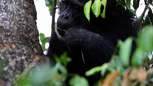 Chimpanzee (Pan troglodytes) stripping pieces of grass to pull ants from a hole to eat, Mahale Mountains National Park, Tanzania. - Konrad  Wothe