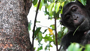 Chimpanzee (Pan troglodytes) in a tree stripping twigs to pull ants from a hole to eat, Mahale Mountains National Park, Tanzania. - Konrad  Wothe