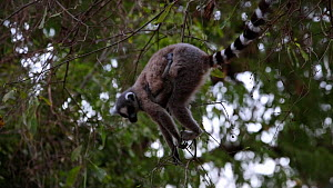 Ring-tailed lemur (Lemur catta) with baby feeding from very thin branches, Berenty Reserve, Madagascar.  -  Konrad  Wothe