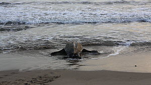 Leatherback turtle (Dermochelys coriacea) returning to the sea after laying its eggs, Trinidad, West Indies.  -  Konrad  Wothe