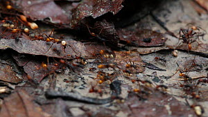 Army ants (Eciton burcellii) carrying eggs on a trail in a rainforest, Panguana Reserve, Huanuco Province, Peru.  -  Konrad  Wothe