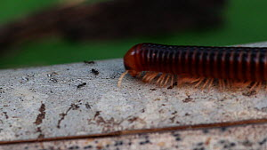 Giant millipede (Spirostreptidae) walking along a branch, Panguana Reserve, Huanuco Province, Peru. - Konrad  Wothe