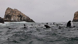 Large group of South American sea lions (Otaria flavescens) swimming at the surface, Palomina Islands, Peru.  -  Konrad  Wothe