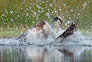 Osprey (Pandion haliaetus) splashing as it emerges from dive to catch fish, Scotland, UK, August.  -  Andy  Rouse