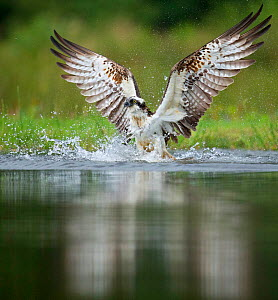 Osprey (Pandion haliaetus) emerging from water with trout prey, Rothiemurchus, Scotland, UK, August. - Andy  Rouse