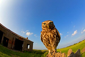 Little Owl (Athene noctua) wide angle showing nest barn, UK, May.  -  Andy  Rouse