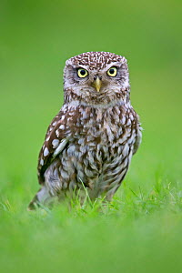 RF- Little Owl (Athene noctua) standing on ground, UK, May. (This image may be licensed either as rights managed or royalty free.)  -  Andy  Rouse