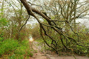Tree blocking road after blizzard, Northern Germany, October 2013.  -  Pal Hermansen