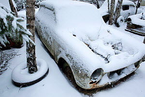 Snow covered cars in Bastnas car graveyard, Varmland, Sweden, December. - Pal Hermansen