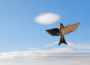 House martin (Delichon urbica) flying upwards, with clouds, Buskerud, Norway, July.  -  Pal Hermansen