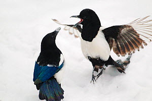 Magpies (Pica pica) in fight in snow, Norway, January.  -  Pal Hermansen