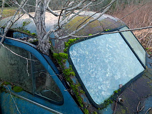 Tree growing through abandoned car in car graveyard, Varmland, Sweden, December 2012. - Pal Hermansen
