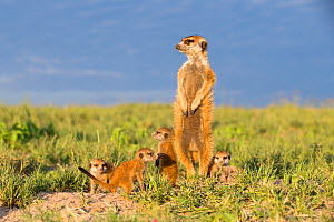 Meerkat (Suricata suricatta) male standing alert on hind legs, with babies around feet,  Makgadikgadi Pans, Botswana.  -  Will Burrard-Lucas