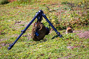 Remote camera set up for photographing a Big-headed mole rat (Tachyoryctes macrocephalus) appearing from its hole, Bale Mountains National Park, Ethiopia. - Will Burrard-Lucas