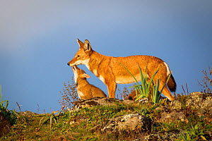 Ethiopian Wolf (Canis simensis) pup seeking attention, Bale Mountains National Park, Ethiopia. - Will Burrard-Lucas