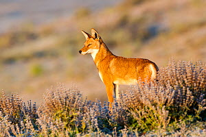 Ethiopian wolf (Canis simensis) looks out over a frosty landscape shortly, Bale Mountains National Park, Ethiopian highlands, Ethiopia. - Will Burrard-Lucas