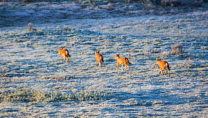 Ethiopian wolves (Canis simensis) patrolling their territory on a frosty morning, Bale Mountains National Park, Ethiopia.  -  Will Burrard-Lucas