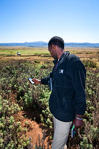 An Ethiopian Wolf Conservation Program (EWPC) wolf monitor marks the location of a den with a handheld GPS device, Bale Mountains National Park, Ethiopia, November 2011.  -  Will Burrard-Lucas