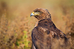 Tawny eagle (Aquila rapax) searching for food on the ground, Bale Mountains National Park, Ethiopia. - Will Burrard-Lucas