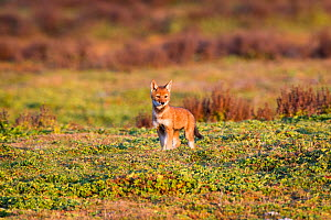 Ethiopian Wolf (Canis simensis) pup, Bale Mountains National Park, Ethiopia.  -  Will Burrard-Lucas