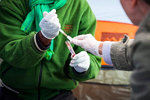 Conservations from the Ethiopian Wolf Conservation Program (EWCP) process blood from Ethiopian Wolf (Canis simensis) Bale Mountains National Park, Ethiopia, November 2011.  -  Will Burrard-Lucas