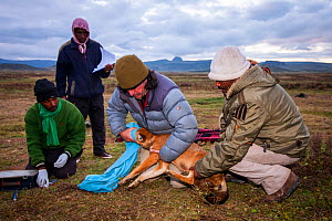 Ethiopian Wolf Conservation Programme (EWCP)  working with a sedated Ethiopian Wolf (Canis simensis) Bale Mountains National Park, Ethiopia. - Will Burrard-Lucas
