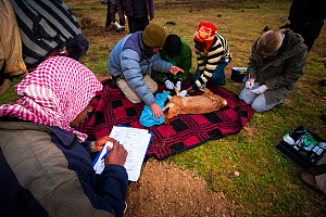 Conservationists from the Ethiopian Wolf Conservation Program (EWCP) collecting data from a sedated Ethiopian Wolf (Canis simensis) Bale Mountains National Park, Ethiopia, November 2011. - Will Burrard-Lucas