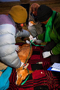 Researchers from the Ethiopian Wolf Conservation Program (EWCP) collecting data from a sedated Ethiopian Wolf (Canis simensis) Bale Mountains National Park, Ethiopia, November 2011.  -  Will Burrard-Lucas